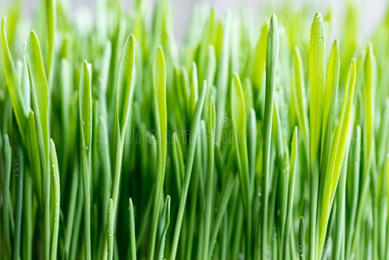 Κινηματογράφηση σε πρώτο πλάνο της νέας πράσινης χλόης κριθαριού, εκλεκτική εστίαση στοκ εικόνες με δικαίωμα ελεύθερης χρήσης