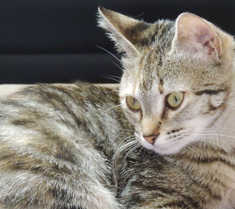 Κινηματογράφηση σε πρώτο πλάνο της Νίκαιας μιας γάτας στοκ εικόνες