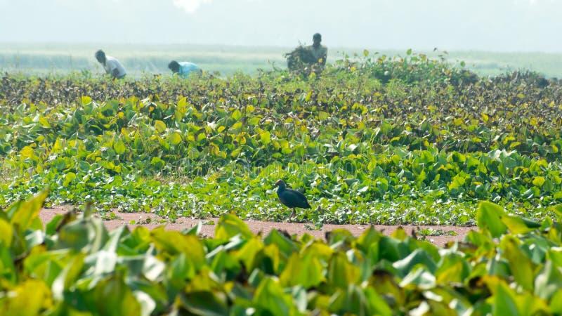 Κινηματογράφηση σε πρώτο πλάνο της νεροκοτσέλας ή της κότας ελών, ένα κοτόπουλο-ταξινομημένο πουλί που συλλέγει τα τρόφιμα γύρω α στοκ εικόνες