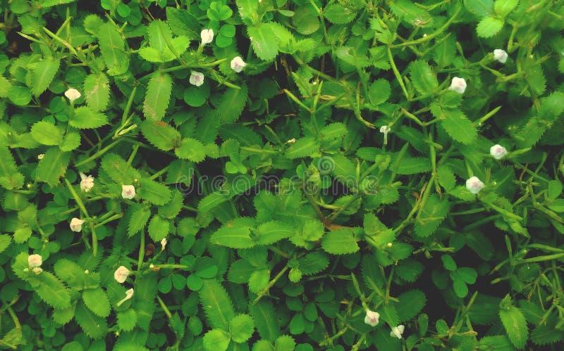 Κινηματογράφηση σε πρώτο πλάνο της πράσινης χλόης φύσης, κινηματογράφηση σε πρώτο πλάνο των μικρών άσπρων λουλουδιών και του υποβ στοκ φωτογραφία με δικαίωμα ελεύθερης χρήσης