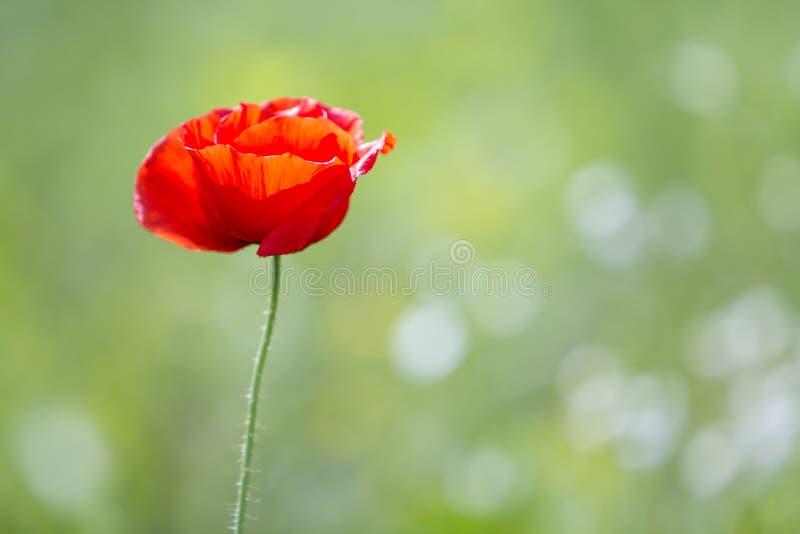 Κινηματογράφηση σε πρώτο πλάνο της προσφοράς που ανθίζει αναμμένη από το θερινό ήλιο ένα το κόκκινο άγριο λουλούδι παπαρουνών στο στοκ εικόνες