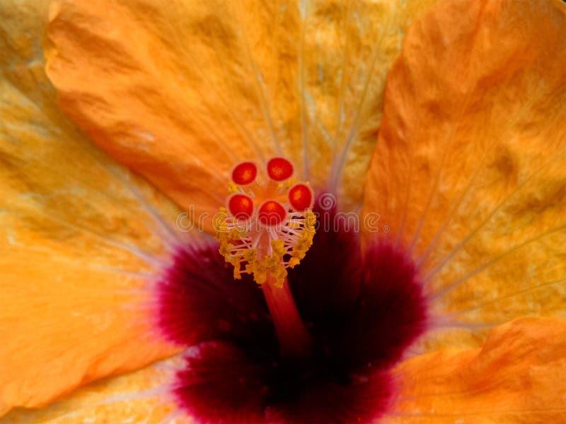 Κινηματογράφηση σε πρώτο πλάνο της της Χαβάης Hibiscus γύρης λουλουδιών στοκ εικόνα