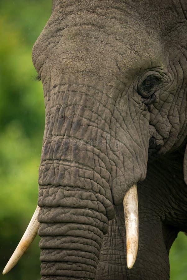 Κινηματογράφηση σε πρώτο πλάνο του αφρικανικού κεφαλιού ελεφάντων με τους χαυλιόδοντες στοκ εικόνες