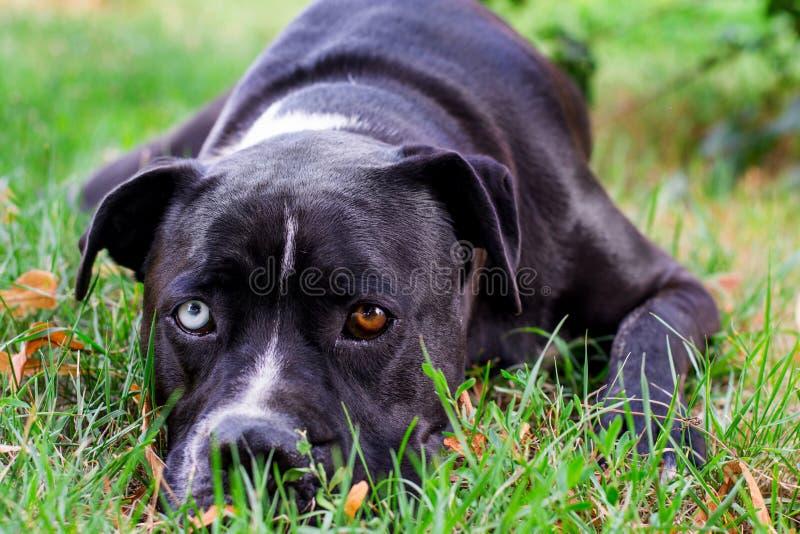 Κινηματογράφηση σε πρώτο πλάνο του γραπτού αμερικανικού σκυλιού τεριέ Staffordshire με τα μάτια τοίχων στη χλόη στοκ φωτογραφίες με δικαίωμα ελεύθερης χρήσης