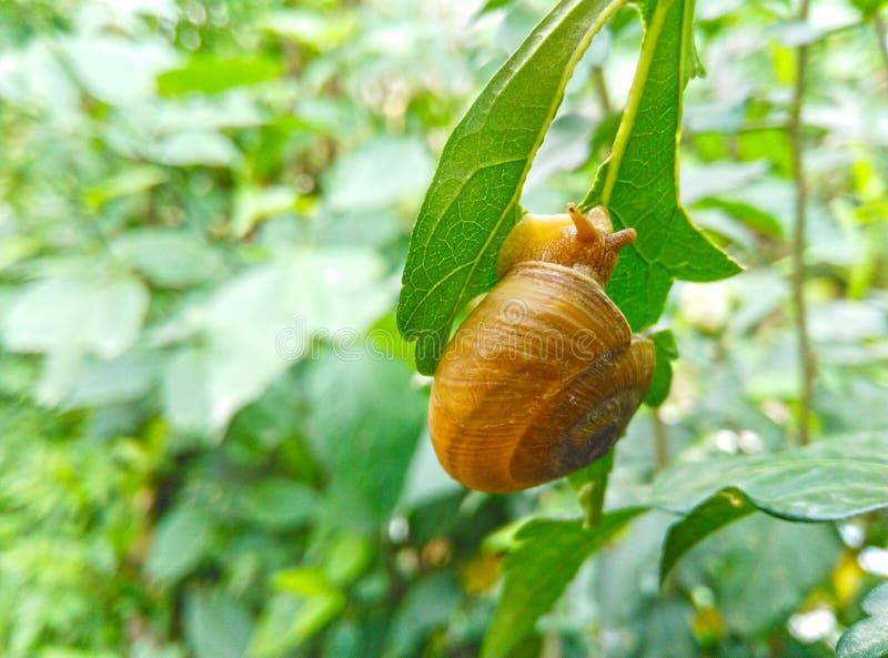 Κινηματογράφηση σε πρώτο πλάνο του εδώδιμου σαλιγκαριού με το κοχύλι που τρώει το πράσινο φύλλο στοκ φωτογραφία