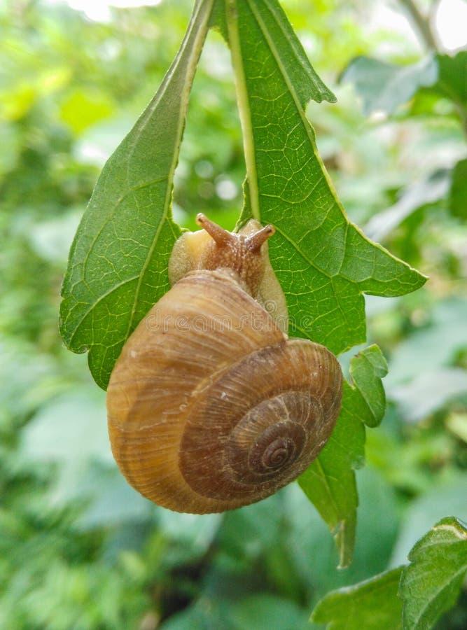 Κινηματογράφηση σε πρώτο πλάνο του εδώδιμου σαλιγκαριού με το κοχύλι που τρώει το πράσινο φύλλο στοκ εικόνα με δικαίωμα ελεύθερης χρήσης