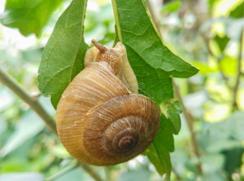 Κινηματογράφηση σε πρώτο πλάνο του εδώδιμου σαλιγκαριού με το κοχύλι που τρώει το πράσινο φύλλο στοκ εικόνες με δικαίωμα ελεύθερης χρήσης