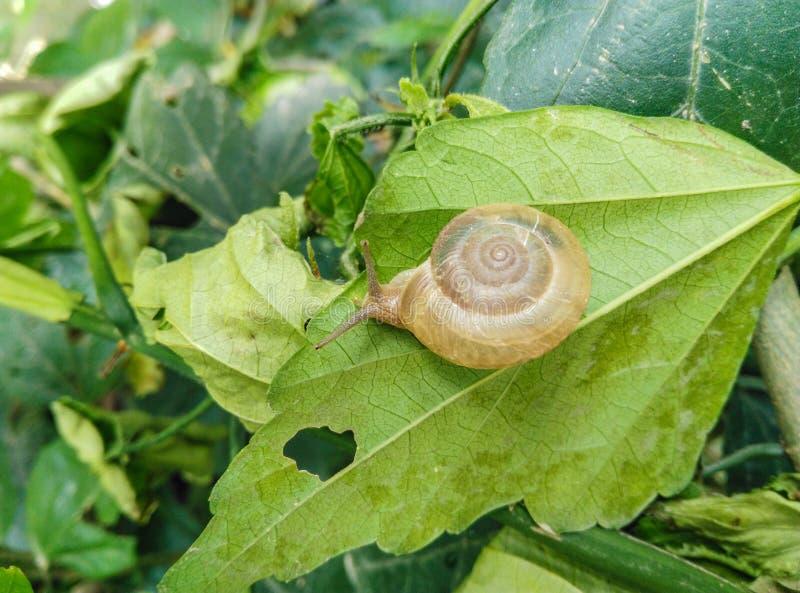 Κινηματογράφηση σε πρώτο πλάνο του εδώδιμου σαλιγκαριού με το κοχύλι που τρώει το πράσινο φύλλο στοκ εικόνες