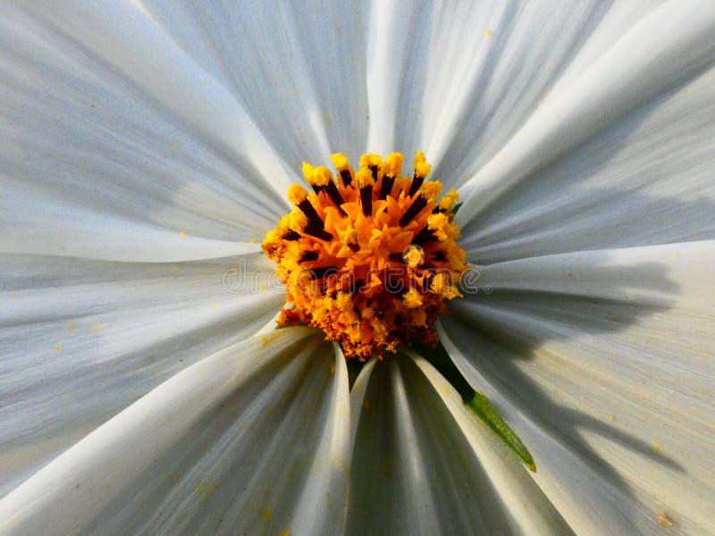 Κινηματογράφηση σε πρώτο πλάνο του εσωτερικού ενός άσπρου λουλουδιού στοκ φωτογραφίες