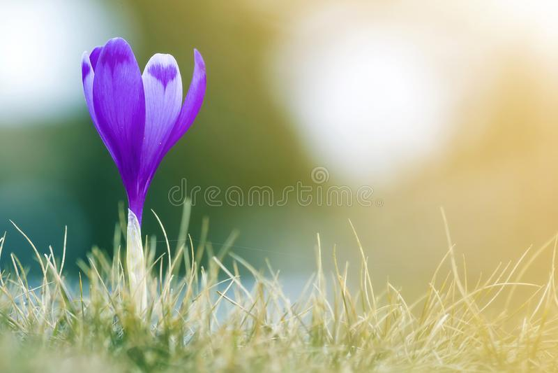 Κινηματογράφηση σε πρώτο πλάνο του θαυμάσιου καταπληκτικού πρώτου φωτεινού ιώδους κρόκου λουλουδιών άνοιξη που ανθίζει υπαίθρια σ στοκ εικόνα με δικαίωμα ελεύθερης χρήσης
