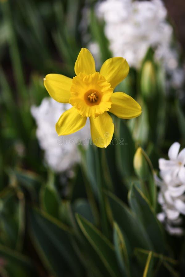 Κινηματογράφηση σε πρώτο πλάνο του κίτρινου daffodil στοκ εικόνες