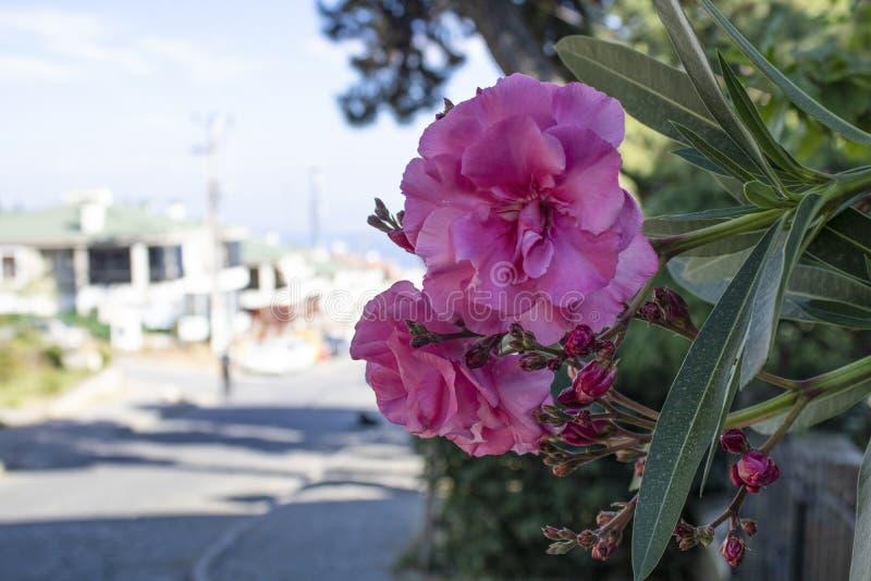 Κινηματογράφηση σε πρώτο πλάνο του λουλουδιού θάμνων αζαλεών Άποψη οδών και θολωμένο υπόβαθρο στην ηλιόλουστη ημέρα στοκ εικόνα με δικαίωμα ελεύθερης χρήσης