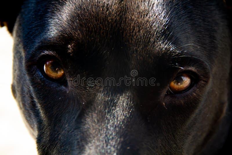 Κινηματογράφηση σε πρώτο πλάνο του μαύρου σκυλιού με τα καφετιά μάτια στοκ εικόνα