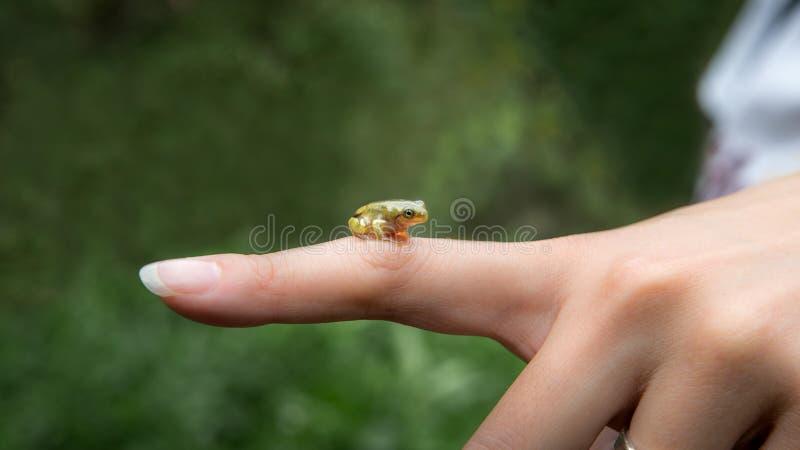 Κινηματογράφηση σε πρώτο πλάνο του μικρού δασικού φρύνου βατράχων, που κάθεται στη γυναίκα δάχτυλων στην Ταϊβάν στοκ εικόνες