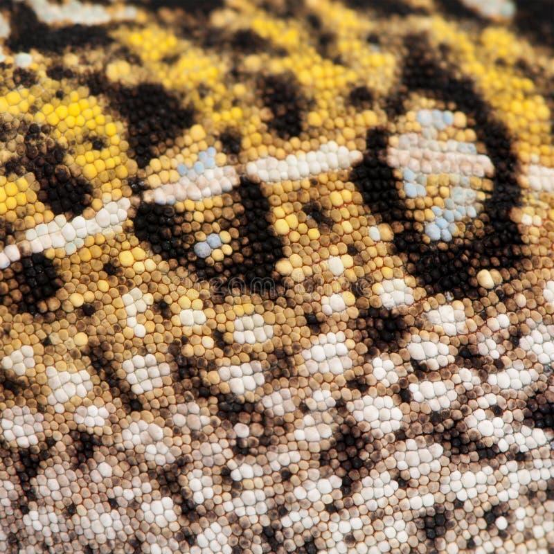 Κινηματογράφηση σε πρώτο πλάνο του νέου δέρματος χαμαιλεόντων πάνθηρων ΔΕΡΜΑΤΩΝ, pardalis Furcifer στοκ φωτογραφία