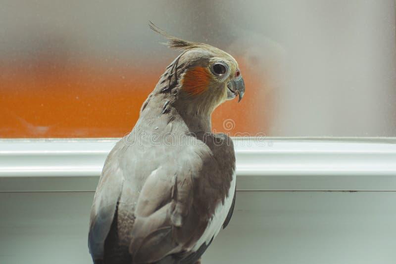 Κινηματογράφηση σε πρώτο πλάνο του πουλιού Cockatiel Θηλυκό hollandicus Nymphicus στοκ εικόνες
