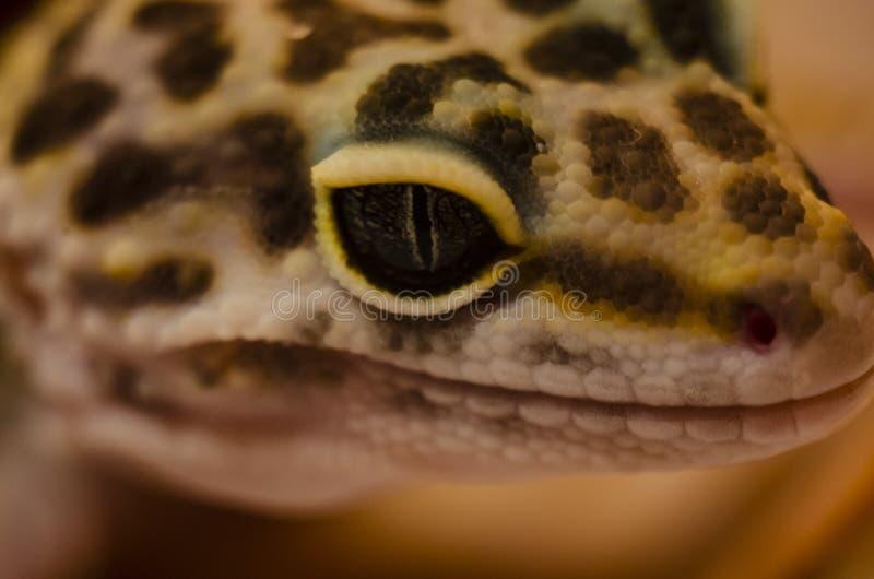 Κινηματογράφηση σε πρώτο πλάνο του προσώπου ενός eublephar κατοικίδιου ζώου gecko λεοπαρδάλεων με ένα μαλακό θολωμένο υπόβαθρο στοκ εικόνα με δικαίωμα ελεύθερης χρήσης