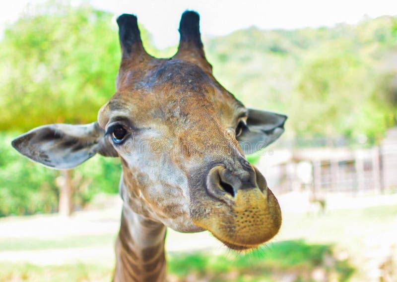 Κινηματογράφηση σε πρώτο πλάνο του προσώπου των giraff Α στοκ φωτογραφίες με δικαίωμα ελεύθερης χρήσης