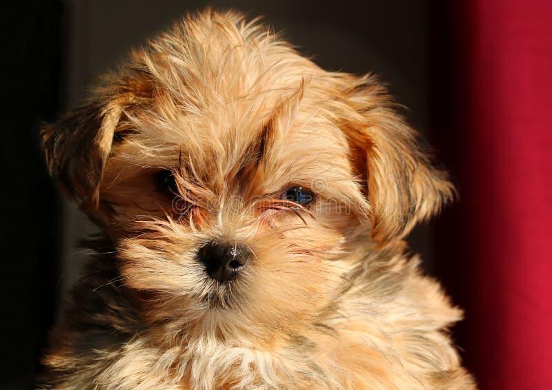 Κινηματογράφηση σε πρώτο πλάνο του προσώπου Yorkie puppie στοκ φωτογραφία με δικαίωμα ελεύθερης χρήσης