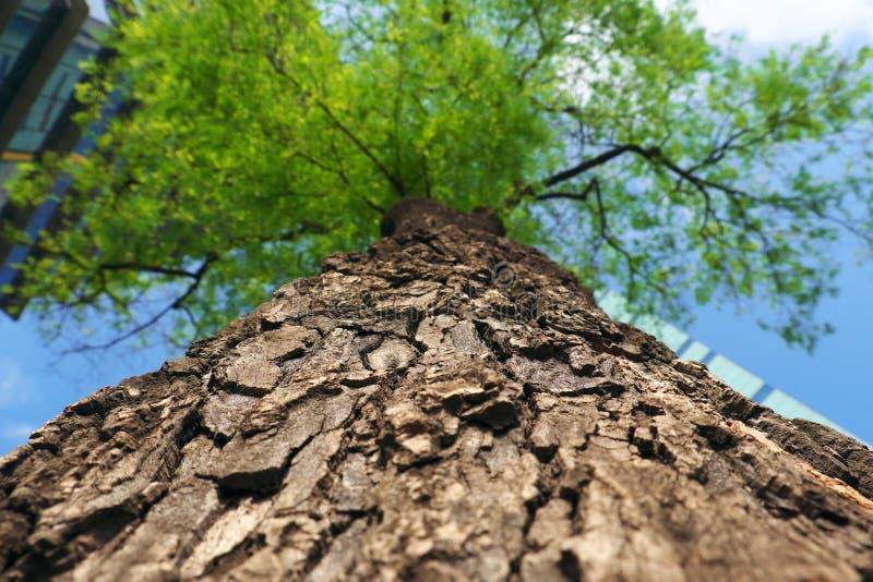 Κινηματογράφηση σε πρώτο πλάνο του τραχιού φλοιού δέντρων με το σύγχρονο κτήριο από την κατώτατη άποψη στοκ εικόνα με δικαίωμα ελεύθερης χρήσης