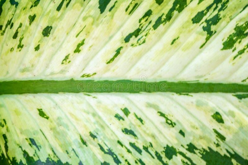 Κινηματογράφηση σε πρώτο πλάνο του φρέσκου δίχρωμου φύλλου χρώματος γ στοκ εικόνα με δικαίωμα ελεύθερης χρήσης