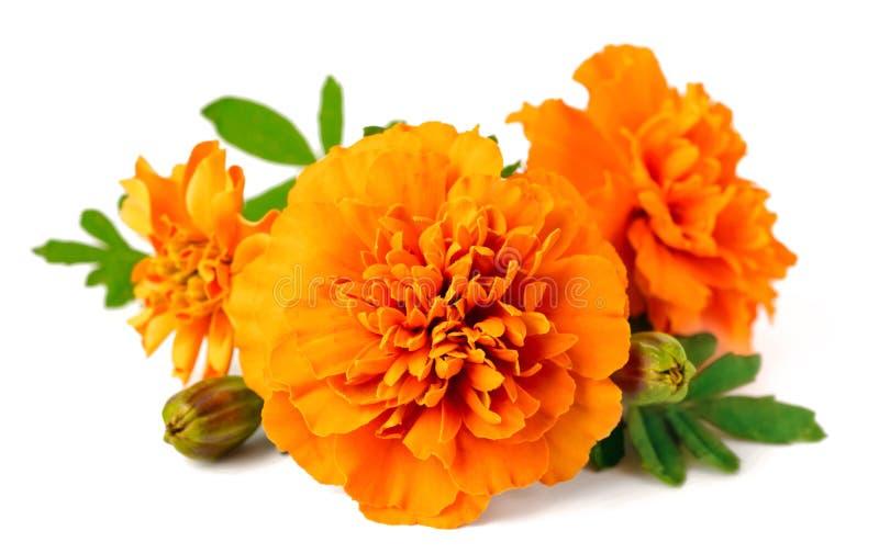 Κινηματογράφηση σε πρώτο πλάνο του φρέσκου marigold λουλουδιού που απομονώνεται στο λευκό στοκ εικόνες με δικαίωμα ελεύθερης χρήσης