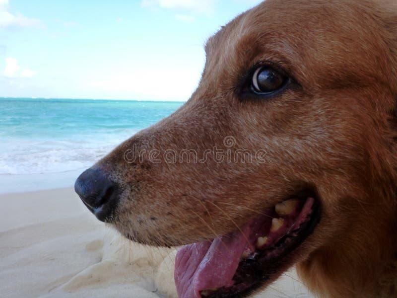 Κινηματογράφηση σε πρώτο πλάνο του χρυσού Retriever κεφαλιού σκυλιών με το στόμα ανοικτό στοκ εικόνα με δικαίωμα ελεύθερης χρήσης