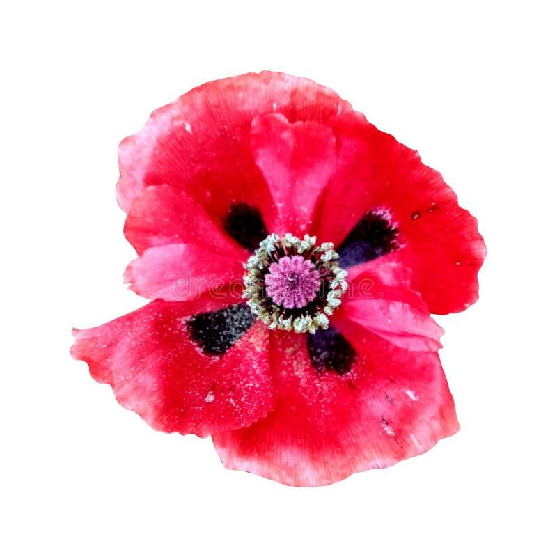Κινηματογράφηση σε πρώτο πλάνο του όμορφου λουλουδιού άνοιξη, γαμήλιο floral σχέδιο, μακροεντολή ελεύθερη απεικόνιση δικαιώματος