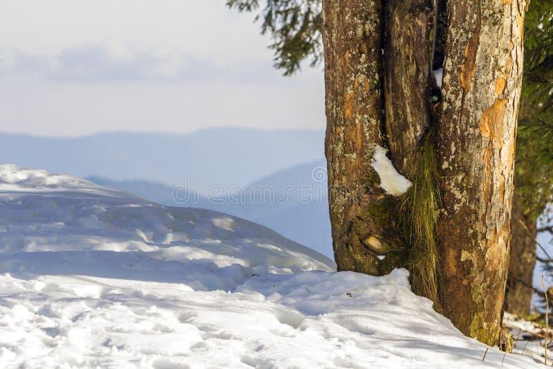 Κινηματογράφηση σε πρώτο πλάνο των δέντρων πεύκων το χιονώδη χειμώνα στοκ εικόνες