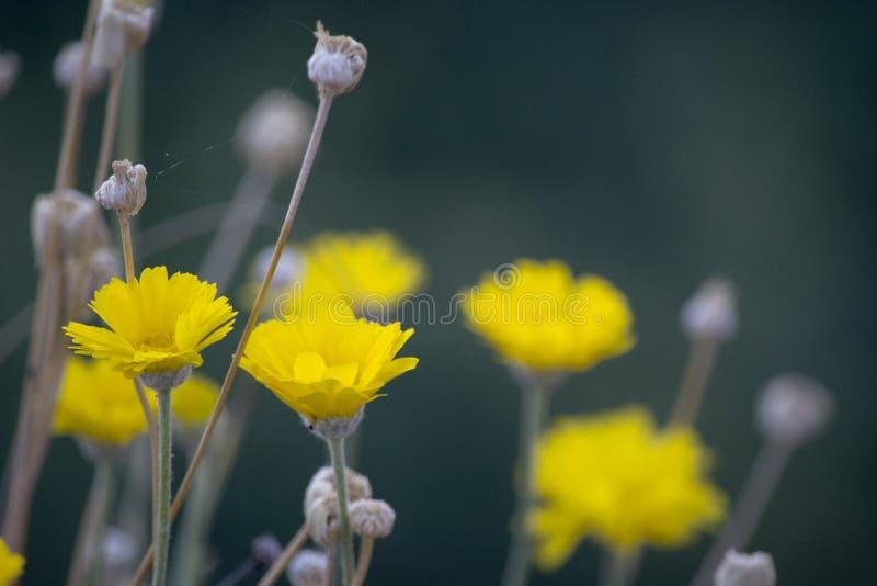 Κινηματογράφηση σε πρώτο πλάνο των κίτρινων σύνθετων λουλουδιών με τα ξηρά κεφάλια λουλουδιών στη νότια έρημο της Γιούτα στοκ φωτογραφία