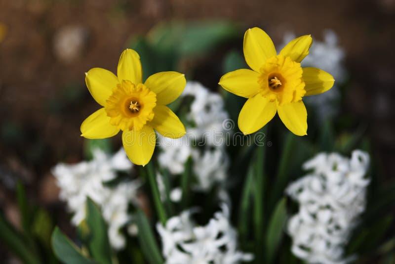 Κινηματογράφηση σε πρώτο πλάνο των κίτρινων daffodils στοκ εικόνα