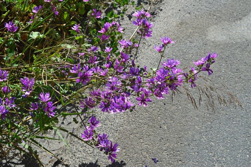 Κινηματογράφηση σε πρώτο πλάνο των κοινών Mallow λουλουδιών, Malva Sylvestris, φύση στοκ εικόνα με δικαίωμα ελεύθερης χρήσης