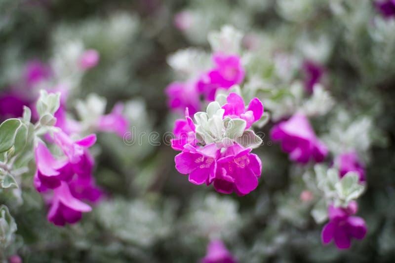 Κινηματογράφηση σε πρώτο πλάνο των λουλουδιών σε έναν λογικό θάμνο του Τέξας silverleaf στοκ φωτογραφίες
