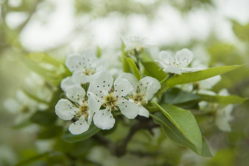 Κινηματογράφηση σε πρώτο πλάνο των λουλουδιών δέντρων αχλαδιών Άσπρα Apple-λουλούδια την άνοιξη στοκ φωτογραφία με δικαίωμα ελεύθερης χρήσης