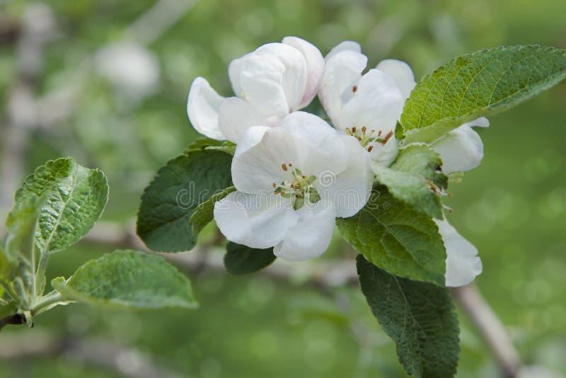 Κινηματογράφηση σε πρώτο πλάνο των λουλουδιών δέντρων μηλιάς Άσπρα Apple-λουλούδια την άνοιξη στοκ φωτογραφίες