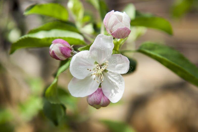 Κινηματογράφηση σε πρώτο πλάνο των λουλουδιών δέντρων μηλιάς Άσπρα Apple-λουλούδια την άνοιξη στοκ φωτογραφίες με δικαίωμα ελεύθερης χρήσης
