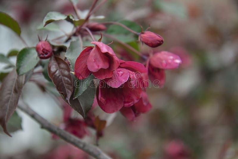 Κινηματογράφηση σε πρώτο πλάνο των λουλουδιών δέντρων μηλιάς Κόκκινο λουλούδι παράδεισος-Apple την άνοιξη στοκ εικόνα με δικαίωμα ελεύθερης χρήσης