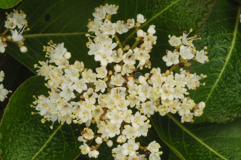 Κινηματογράφηση σε πρώτο πλάνο των λουλουδιών ενός Nannyberry, Viburnum Lentago, Growi στοκ εικόνες