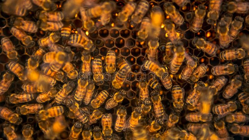 Κινηματογράφηση σε πρώτο πλάνο των μελισσών δεσμών που συρρέουν στην κηρήθρα στο μελισσουργείο Μέλισσες εργασίας στοκ εικόνα με δικαίωμα ελεύθερης χρήσης