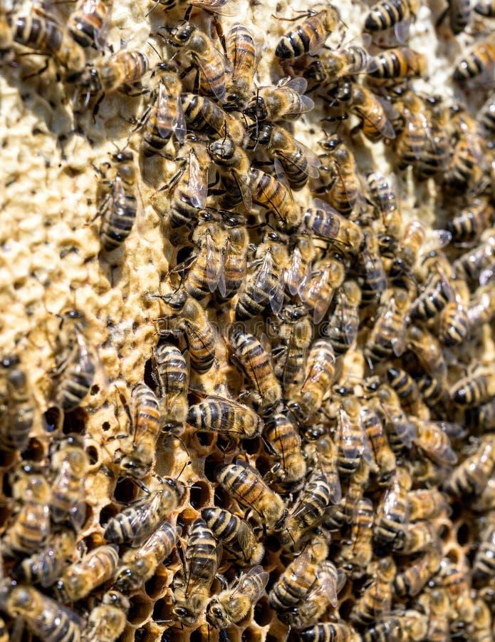 Κινηματογράφηση σε πρώτο πλάνο των μελισσών στην κηρήθρα στην εκλεκτική εστίαση μελισσών μελιού μελισσουργείων στοκ φωτογραφίες