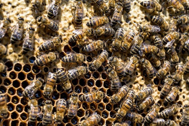 Κινηματογράφηση σε πρώτο πλάνο των μελισσών στην κηρήθρα στην εκλεκτική εστίαση μελισσών μελιού μελισσουργείων στοκ εικόνα με δικαίωμα ελεύθερης χρήσης