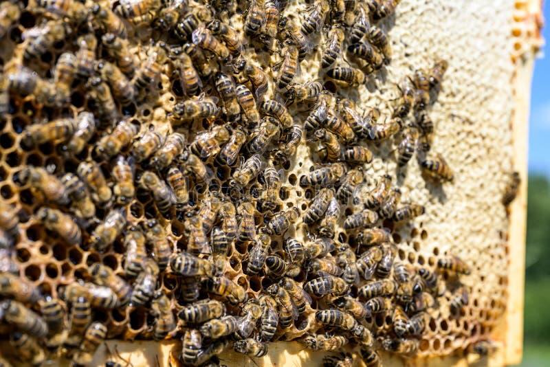 Κινηματογράφηση σε πρώτο πλάνο των μελισσών στην κηρήθρα στην εκλεκτική εστίαση μελισσών μελιού μελισσουργείων στοκ φωτογραφίες με δικαίωμα ελεύθερης χρήσης