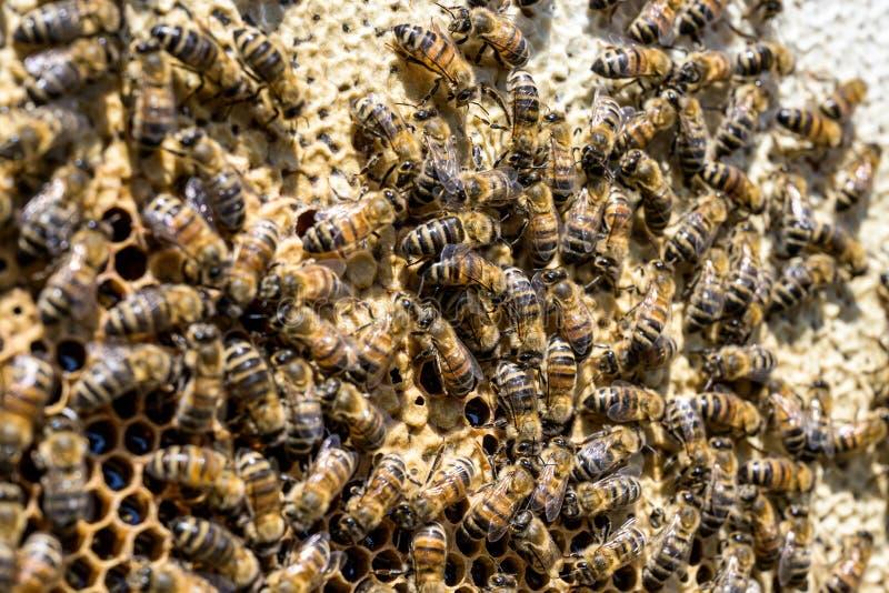 Κινηματογράφηση σε πρώτο πλάνο των μελισσών στην κηρήθρα στην εκλεκτική εστίαση μελισσών μελιού μελισσουργείων στοκ εικόνες με δικαίωμα ελεύθερης χρήσης