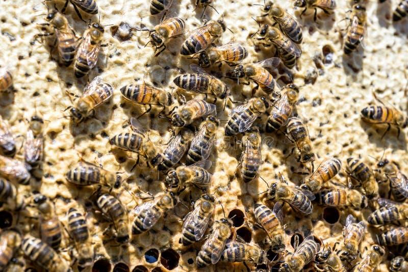 Κινηματογράφηση σε πρώτο πλάνο των μελισσών στην κηρήθρα στην εκλεκτική εστίαση μελισσών μελιού μελισσουργείων στοκ φωτογραφία με δικαίωμα ελεύθερης χρήσης