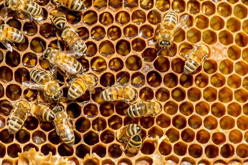 Κινηματογράφηση σε πρώτο πλάνο των μελισσών στην κηρήθρα στο μελισσουργείο στοκ φωτογραφία με δικαίωμα ελεύθερης χρήσης
