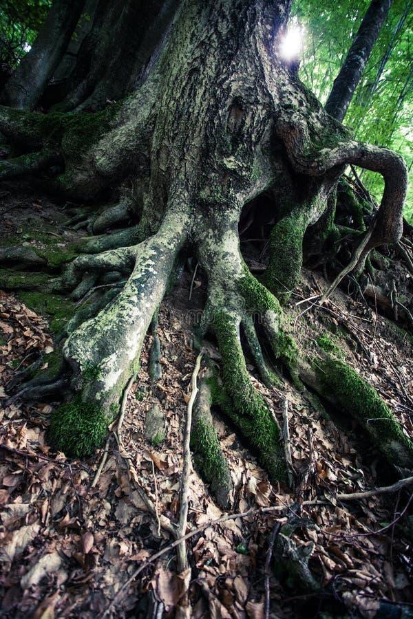 Κινηματογράφηση σε πρώτο πλάνο των τεράστιων ριζών του αρχαίου δέντρου οξιών στο τροπικό δάσος στοκ φωτογραφία με δικαίωμα ελεύθερης χρήσης