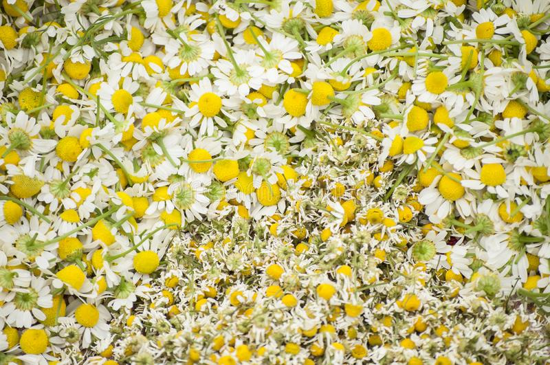 Κινηματογράφηση σε πρώτο πλάνο των φρέσκων και ξηρών ανθών ιατρικών εγκαταστάσεων chamomile για το υγιές τσάι στοκ εικόνα