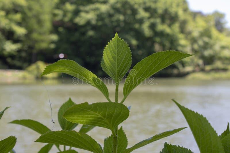 Κινηματογράφηση σε πρώτο πλάνο των φύλλων του φυτού macrophylla Hydrangea Τοπίο λιμνών στο υπόβαθρο στοκ εικόνες