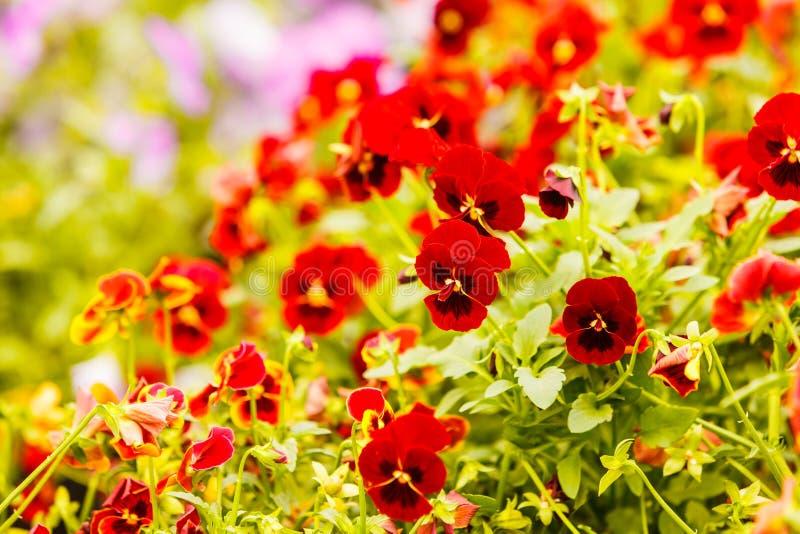 Κινηματογράφηση σε πρώτο πλάνο των όμορφων κόκκινων λουλουδιών, pansies στοκ εικόνα με δικαίωμα ελεύθερης χρήσης
