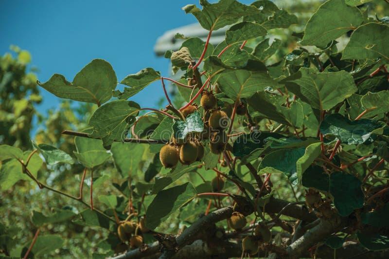 Κινηματογράφηση σε πρώτο πλάνο των ώριμων φρούτων ακτινίδιων που κολλιούνται στο φυλλώδη κλάδο στοκ εικόνες